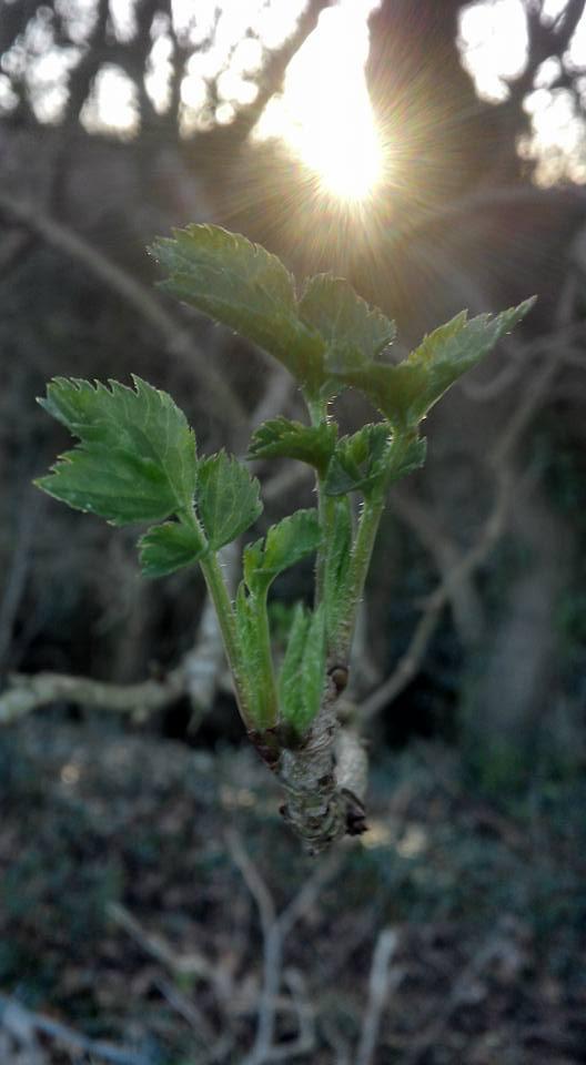 Early Elder leaves in February