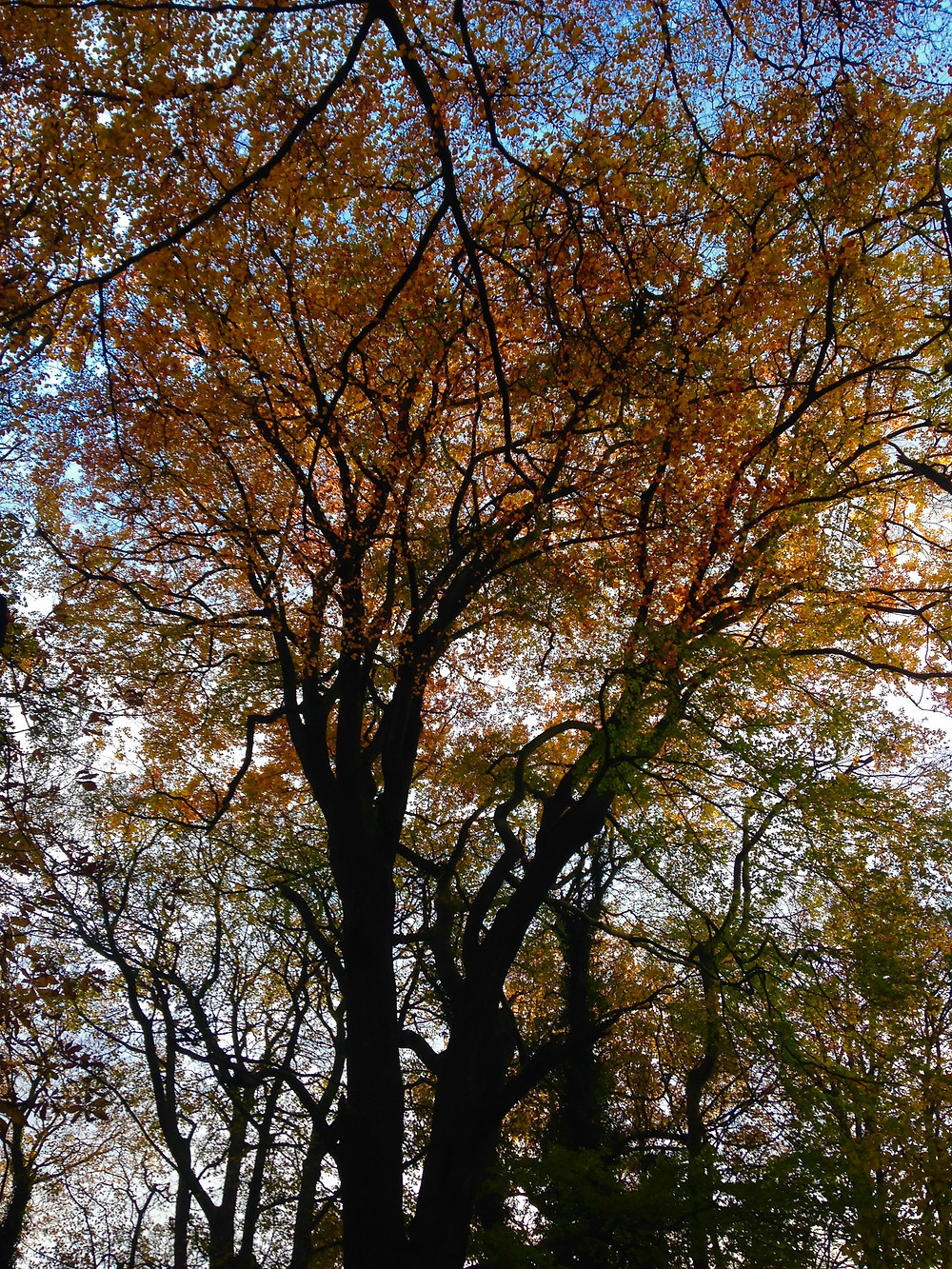 Autumn Beech Tree Canopy