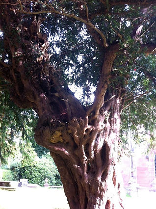 Yew Tree by Ancinet and Sacred Trees memberAmanda C Vesty
