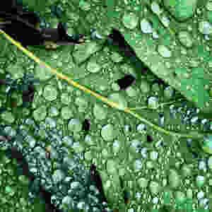 raindrops on oak leaf