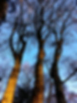 3Birch Trees by Amanda Claire Ancient an
