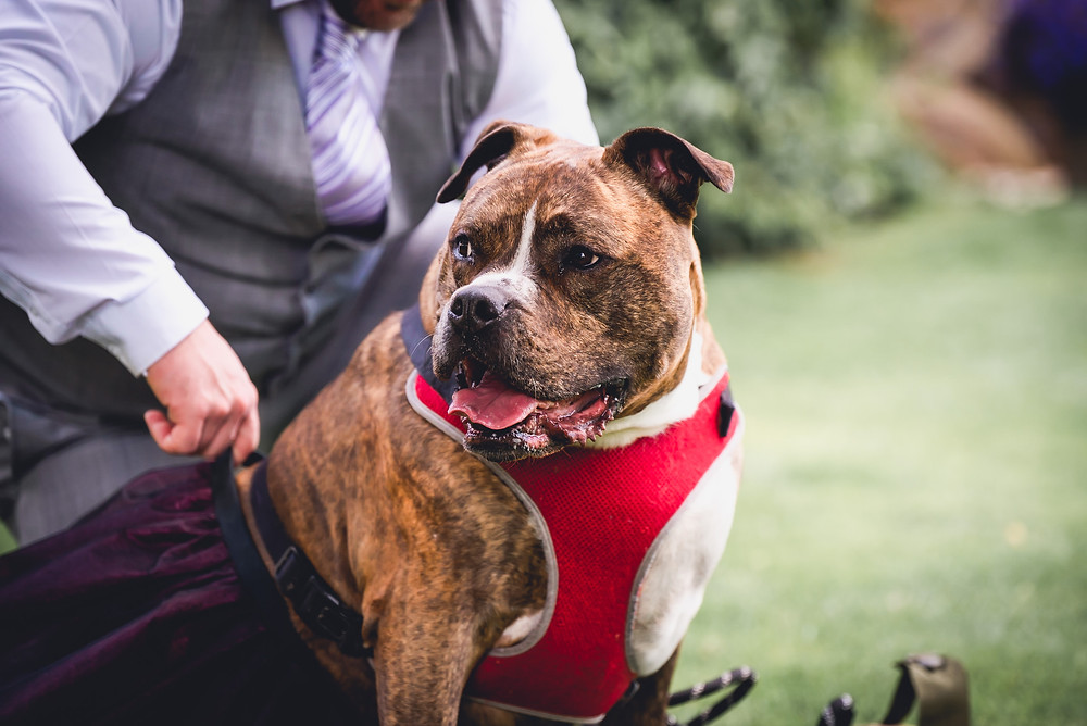Dog Bridesmaid