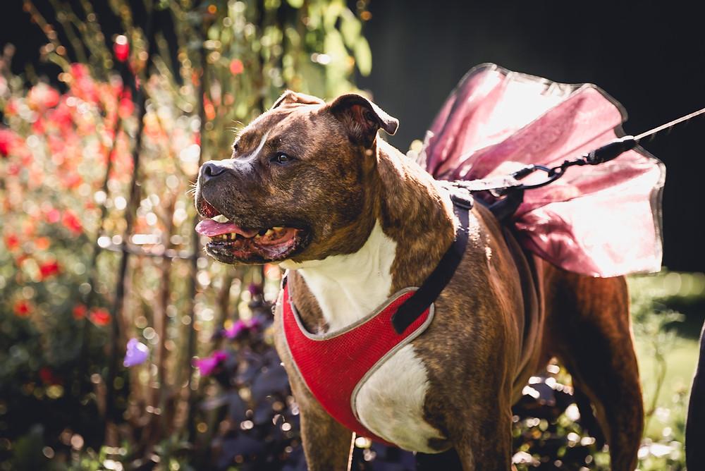 Dog Bridesmaid in Tutu