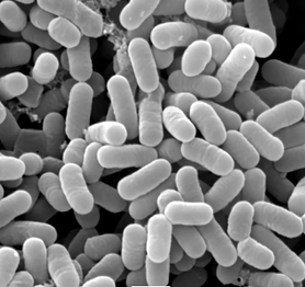 乳酸菌.png