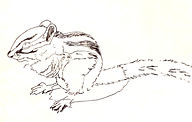 Chipmonk drawing by Colette Pitcher