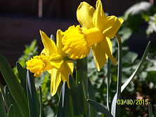 Photograph of daffodils by Teresa Mueller