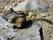 photograph of chipmonk by Colette Pitcher