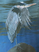 Great Blue Heron photograph by Colette Pitcher