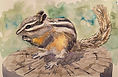 Chipmonk watercolor painting by Colette Pitcher