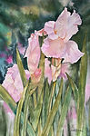 Iris watercolor by Colette Pitcher