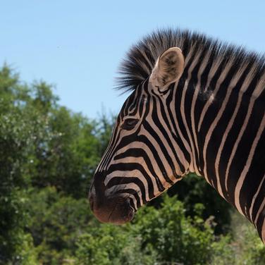 Zebra, Addo Elephant Park, Südafrika