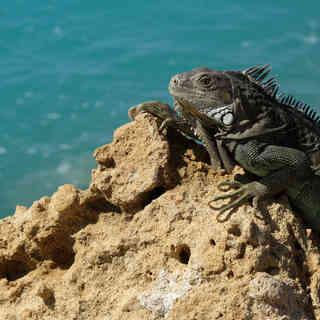 Iguana, Insel Aruba, Karibik