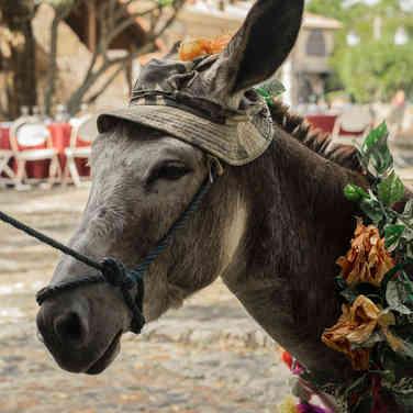 Esel, Dominikanische Republik, Karibik