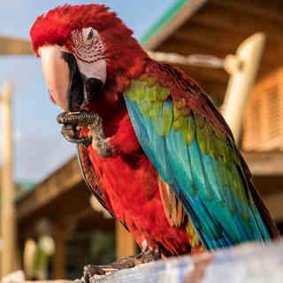 Roter Papagei, Dominikanische Republik, Karibik
