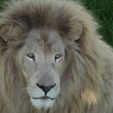 Löwe, Animal Rehab Center, Südafrika