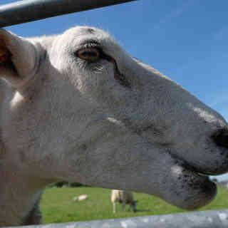 Schaf auf dem Deich - Nordsee, Hoocksiel