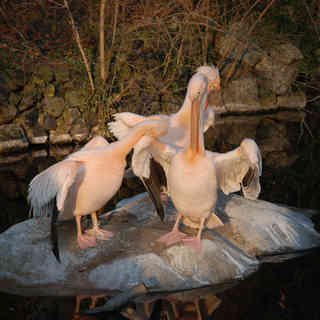 Pelikan, Zoo, Karlsruhe
