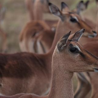 Impala Antilope, HillsNek Lodge, Südafrika
