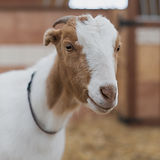 Goat Portraits_After All Photography-094
