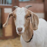 Goat Portraits_After All Photography-096