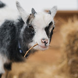 Goat Portraits_After All Photography-010
