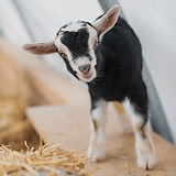 Goat Portraits_After All Photography-025