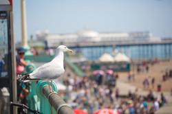 Seagull-on-Brighton-Beach