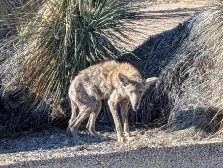 Another Coyote?
