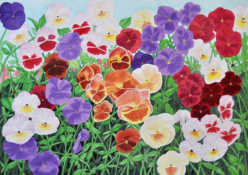 pansies in multiple colors