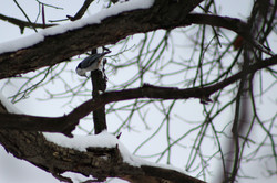 Bluejay Through Branches