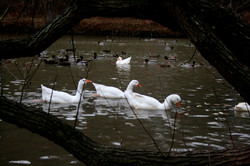 Geese Through Branches