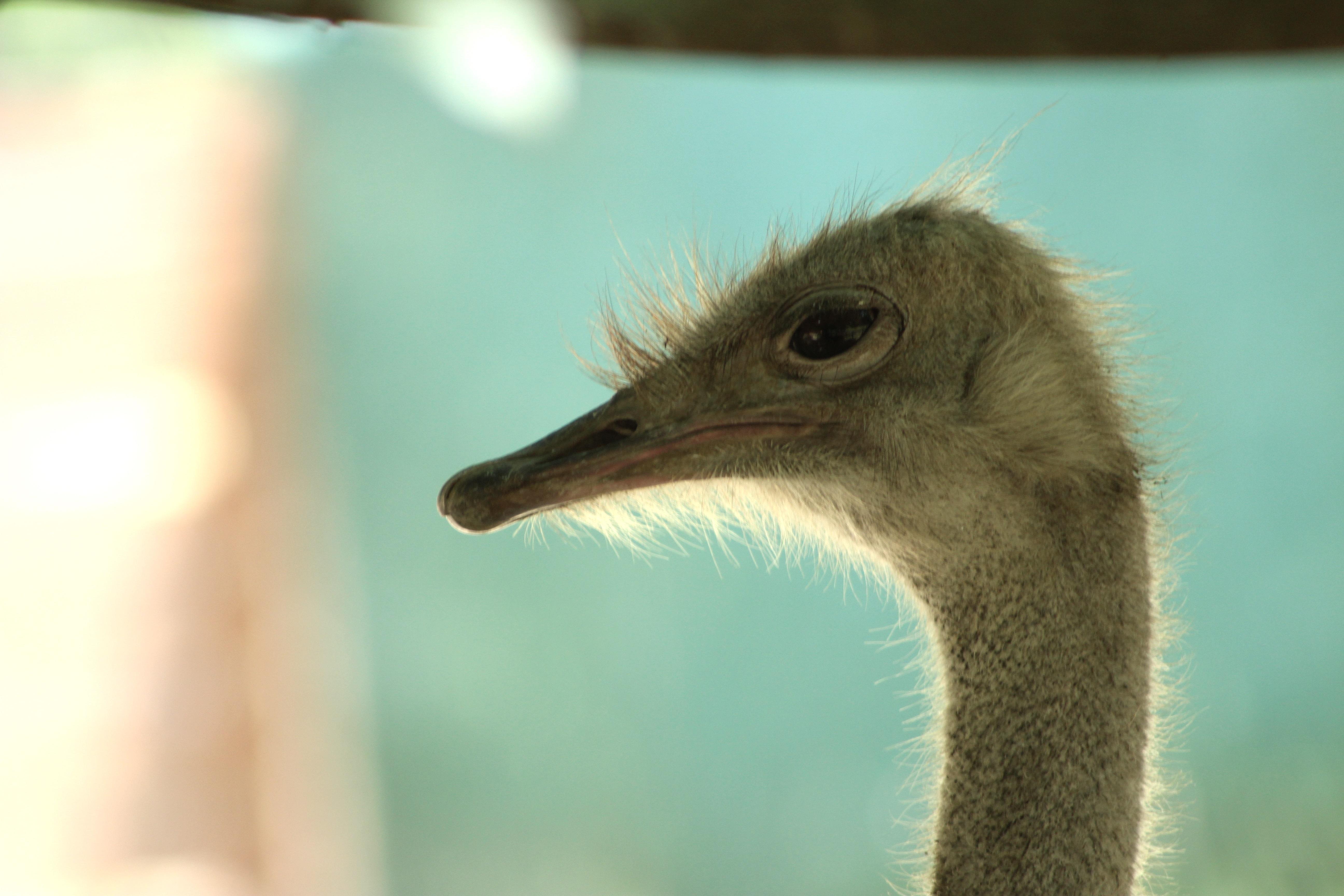 Ostrich Profile
