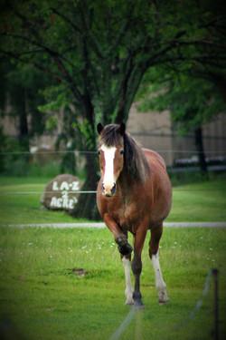 Brown Horse Posing