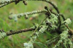 Lichen Jungle
