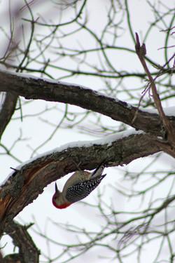 Woodpecker in Winter