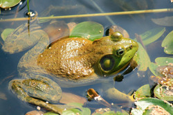 Bullfrog and Lily Pads
