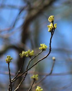 Flowering Tree Buds
