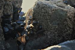 Sunlight Mussels