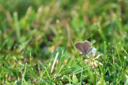 Little Gray Butterfly