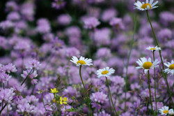Daisies and Crown Vetch