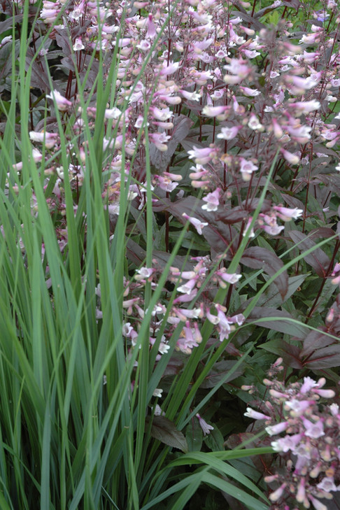 Native Perennials - Asheville