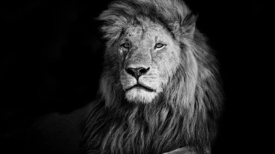 "Monochrome Lion ""Romeo"" photo print A3"