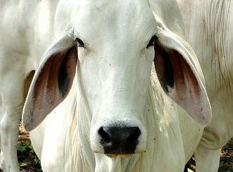 Cattle Ranch, Ganaderia