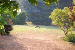 Kangaroos Grazing