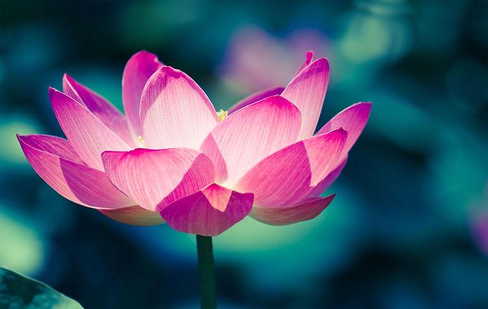 lotus5.jpg