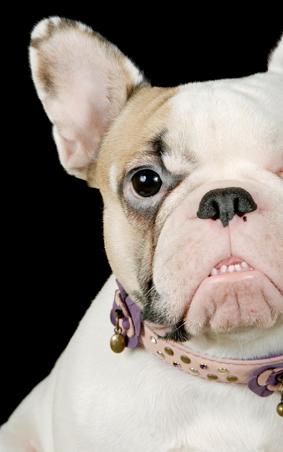 Fransk bulldog.jpg
