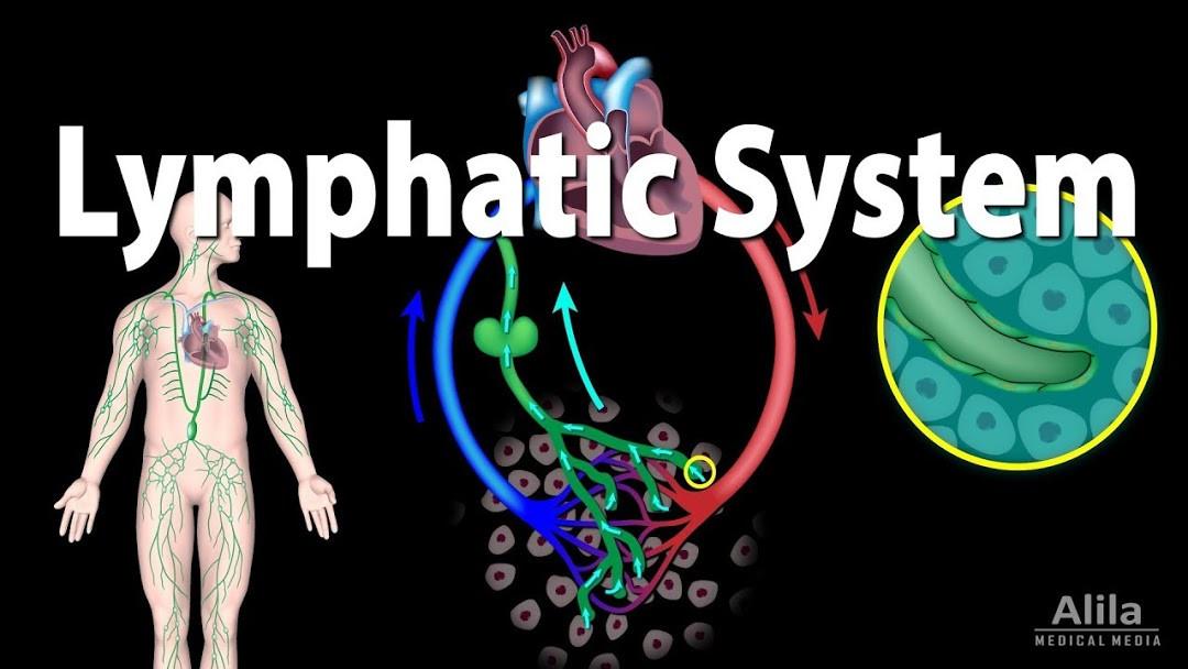 lymp system.jpg