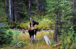 Orignal (Moose)