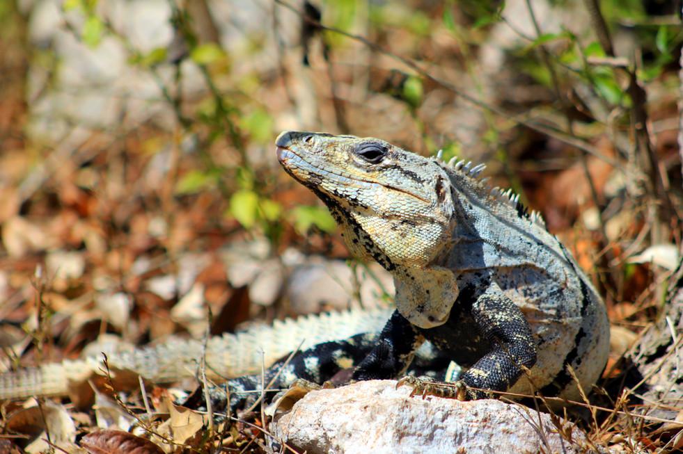 28 - Chichén Itzá - Iguane