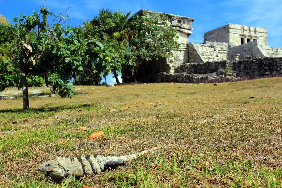 03 - Tulum -  El Castillo - Iguana